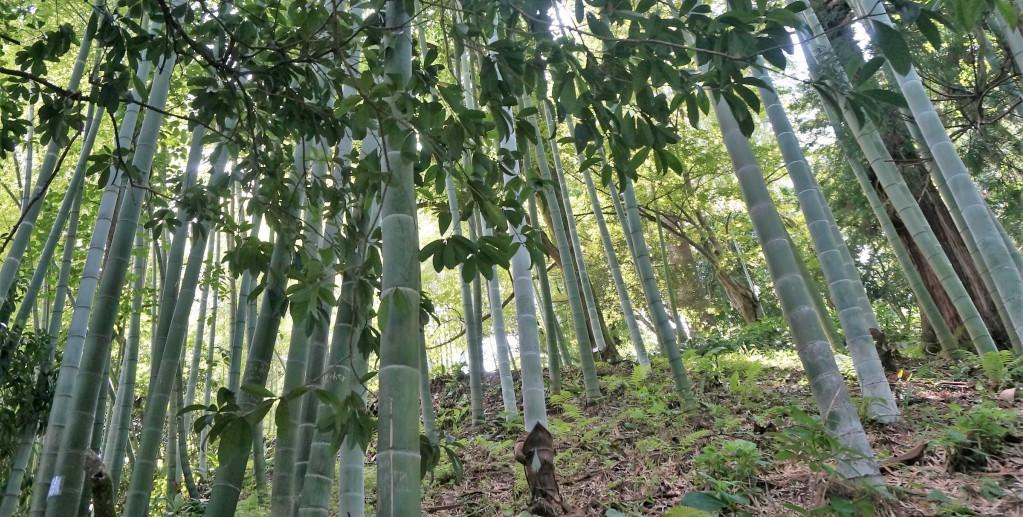 Батумский ботанический сад, бамбуковая роща