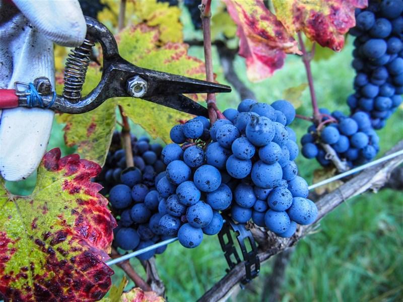 Грузинское вино - Оджалеши